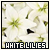 Flower : White Lily